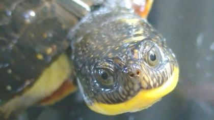Живые черепашки - внеший вид - 2